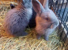 Baby Flemish ready 5th march 3 left