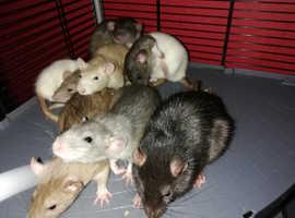 Pet dumbo rats 7mths male/female