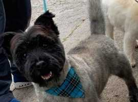 Cairn terrier for STUD