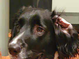 Sprocker girl wanted up to year old loving home friend for our girl