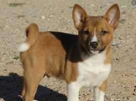 basenji puppy for rehome