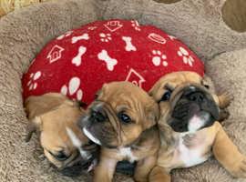 3 gorgeous chunky bulldog boys for sale