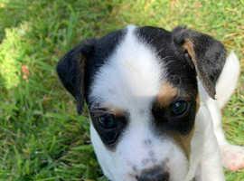 Beautiful Jack Russel pups