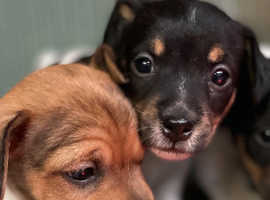 Jack Russel short legged puppies  from a busy family home , so well handled  Mum and dad family pets