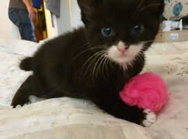 Beautiful Female $ male Manx Kittens