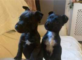Patterdale Puppy's