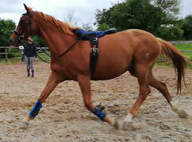 Stunning Anglo-Arab brp chestnut mare