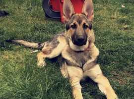 Shepsky Puppy 5Months