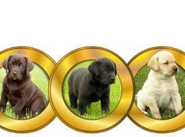 Black Labrador Proven Stud Dog