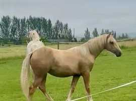 18 months old filly