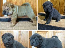 Beautiful Shar Pei Pups For Sale