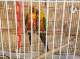 Proven pair jenday conures