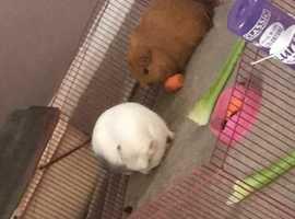 X2 Guinea Pigs