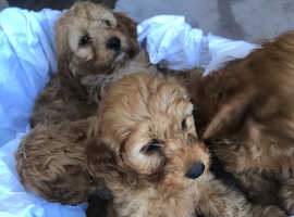 Cockapoo puppies ready now