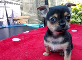 Stunning Smooth Coat Chihuahua Pups