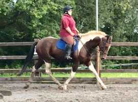 17hh mare for part share/loan