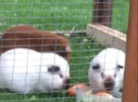 4x guinea pigs free