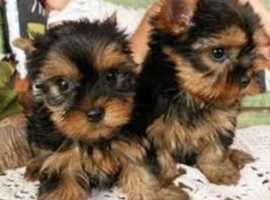 Beautiful Yorkie pups for sale both boys and girls available  for sale