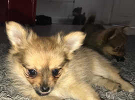 pomchi girl puppy