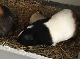 2 male bonded guineapigs