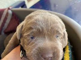 Silver labradore puppy's for sale