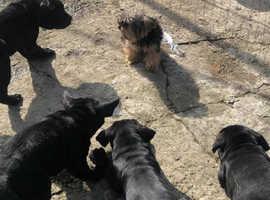Beautiful, Cane Corso pups