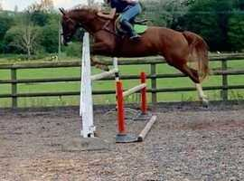 16.2 8yrs sports horse mare