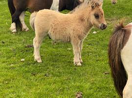3 Miniature Shetland colt foals