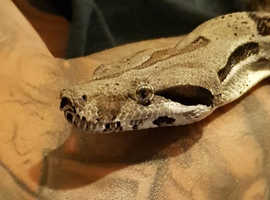 Boa Constrictor, Female, 3yrs old