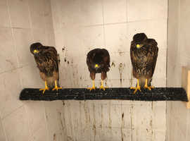 2 female and male Harris hawk