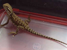 Rankins Dragon (Pogona henrylawsoni) - last one