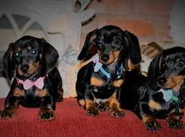 *Beautiful Pure Mini Dachshunds For Sale*