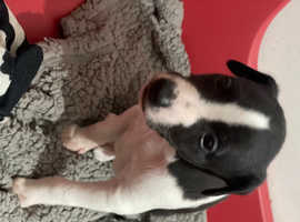 Beautiful whippet girl pup last one!