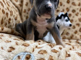 Blue tri American Bully Puppies Bully Dog