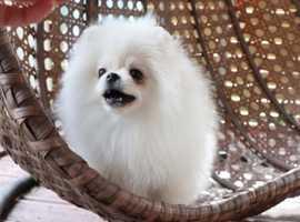Extremely fluffy white Pomeranian puppy like a bear