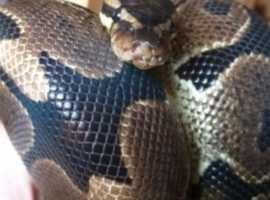3yr old royal/ball python and set up