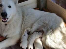 White German Shepherds