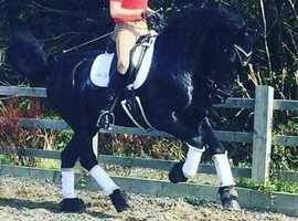 Beautiful Friesian X Dressage Horse For Loan