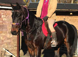 Stunning Safe Dark Bay 15.2h Gelding