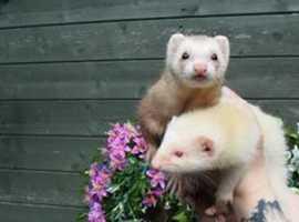 North Wales ferret rescue