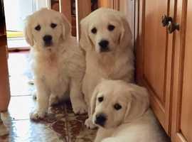 First Class Retriever Puppies (Girls)