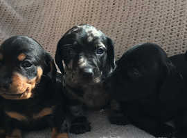 Stunning mini smooth dachshunds