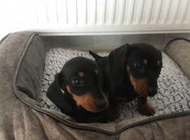 Mini smooth haired (affordable) dachshunds
