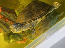 4 musk turtles for sale