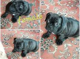 French bulldog hybrid puppies for sale