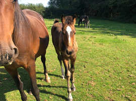 Stunning Warmblood Filly Foal