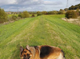 German sheppard dog