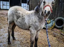 Dartmoor x quarter horse 6 month old
