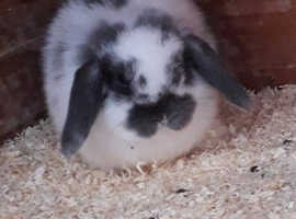 Lost baby bunnie 10weeks