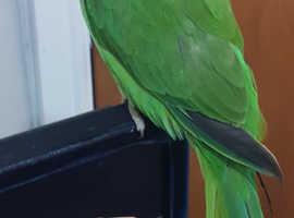 indian ringneck parrot for sale 6 month old